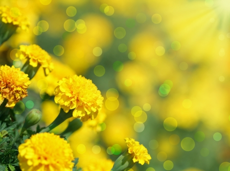 tagetes: Close-up of  tagetes flower Summer background Stock Photo