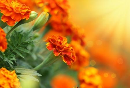 garden marigold: Close-up of  tagetes flower Summer background  Stock Photo