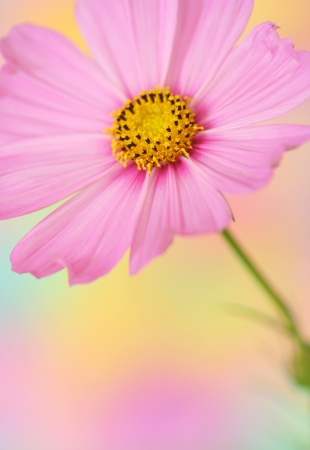 Close-up of pink cosmos flower on pastel background photo