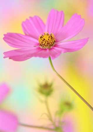 Close-up of pink cosmos flower photo