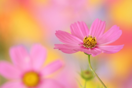 Close-up of pink cosmos flower on colorful background photo