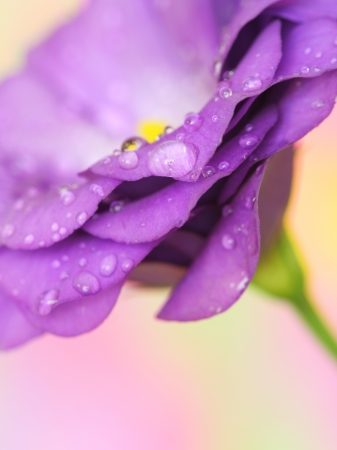 Close-up of  lisianthus flower on pastel background Stock Photo - 14557219