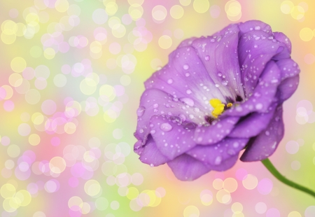 Close-up of  lisianthus flower on defocused background photo