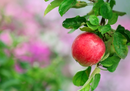 Close-up of ripe apple in the garden
