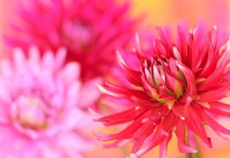 Close up of red dahlia flower photo