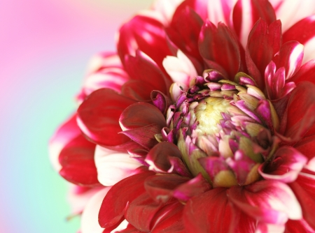 Close up of pink dahlia flower on pastel background photo