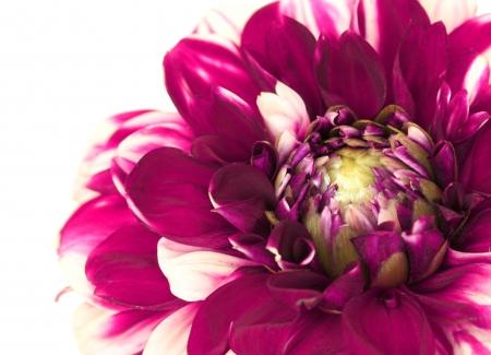 Close up of dahlia flower isolated on white background photo