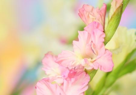 pistil: Close-up of gladiolus flower on pastel background Stock Photo