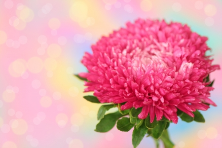 Close up of pink aster on pink defocused background photo