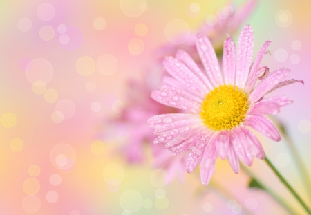 Close-up of pink chrysanthemum flowers on defocused  colorful background photo