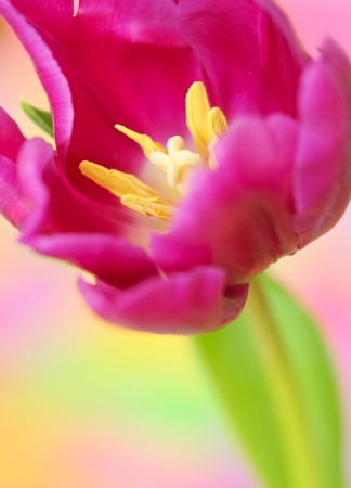 Close-up of tulip flower on pink background. Stock Photo - 17898728