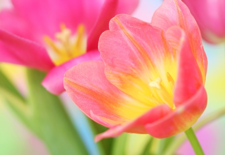 spring season: Close-up of tulip flower.Spring background.