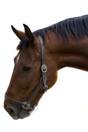 equitation: Portrait of a brown horse isolated on white background.