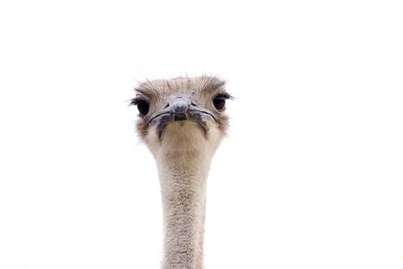 cabeza femenina: mujer cabeza de avestruz aislado