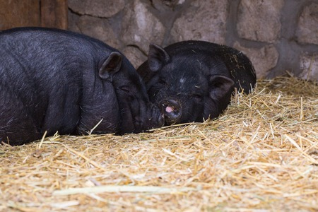 blab: Two pigs in traditional farm