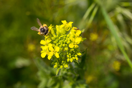 stamen wasp: bee collects nectar on flower. Stock Photo