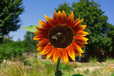 animal health: Sunflower and bee