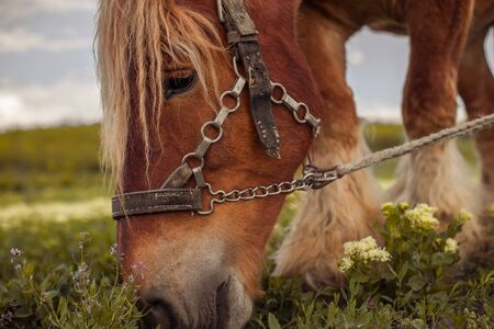 horse at sunset outside. The Mare in the pasture. The bridle on the horse's head. Horse eat grass