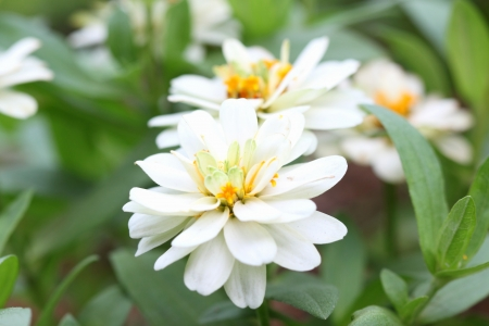 White Zinnia in the garden