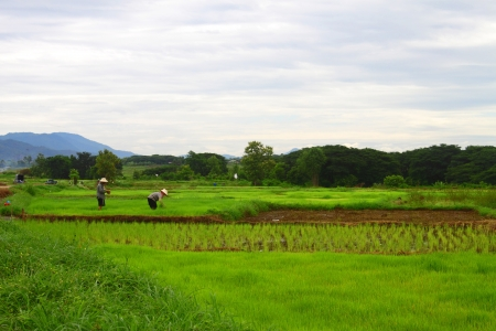 Farmers doing rice in the cornfield from north Thailand