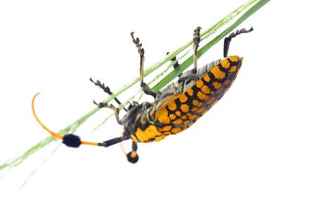 longhorn beetle: Longhorn beetle with white background Stock Photo