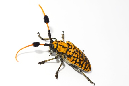 Longhorn beetle with white background Stock Photo