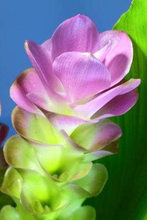 Close up Siam tulip flower