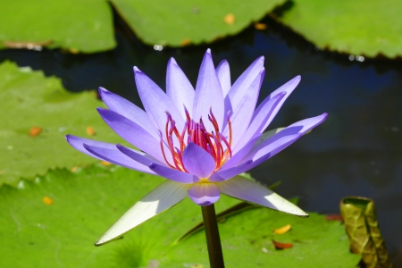 Lotus flower ,Woods Blue Goddess Stock Photo - 16053475