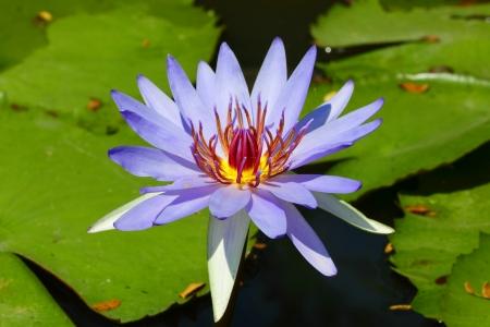 Lotus flower ,Woods Blue Goddess Stock Photo - 16053484
