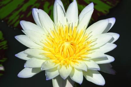 Lotus flower Stock Photo - 16053480