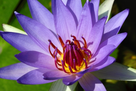 Lotus flower photo
