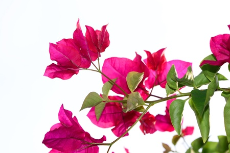 Red bougainvillea photo