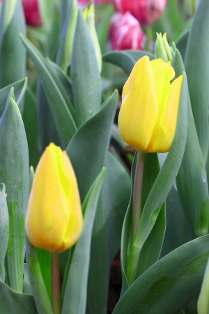 Vibrant yellow tulips Stock Photo - 17208230