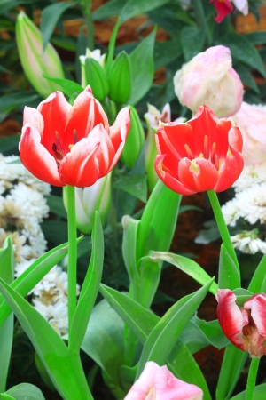Vibrant red tulips Stock Photo - 17208394