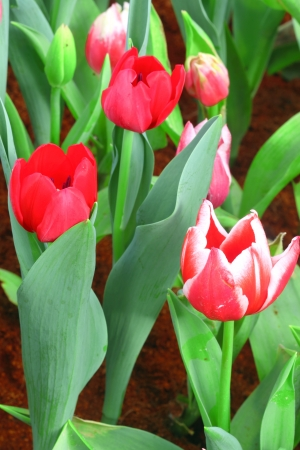Vibrant red tulips Stock Photo - 17208239