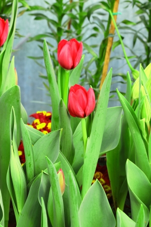 Vibrant red tulips Stock Photo - 17208355