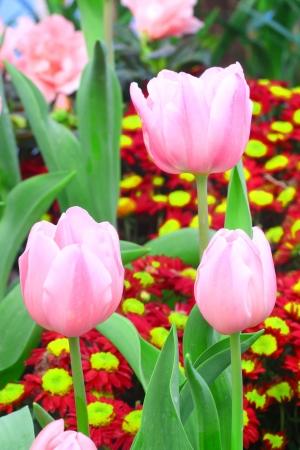 Vibrant pink tulips Stock Photo - 17208232