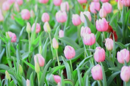 Vibrant pink tulips Stock Photo - 17243482