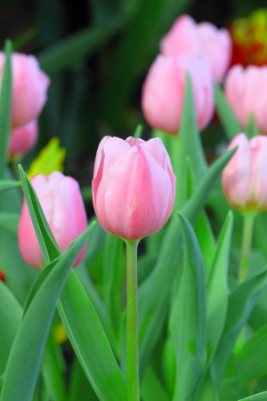 Vibrant pink tulips Stock Photo - 17243460