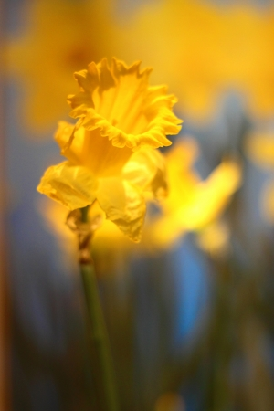 Beauty yellow daffodil Stock Photo - 18087083