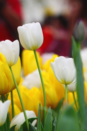 Beautiful white tulips photo