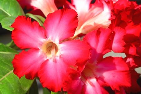 adenium: Adenium flower color bright