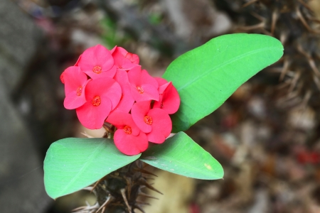 sain: Poi Sain,red flowers are blooming in garden Stock Photo