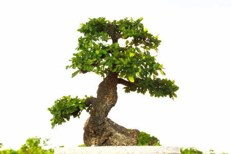 Bonsai in pot,Potted bonsai tree,Small tree in pot is beautiful  photo