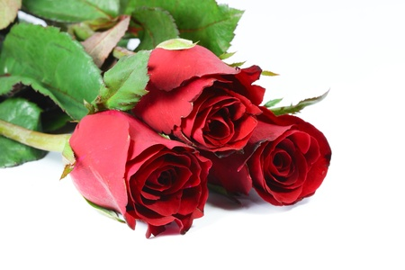 Red rose with white background photo