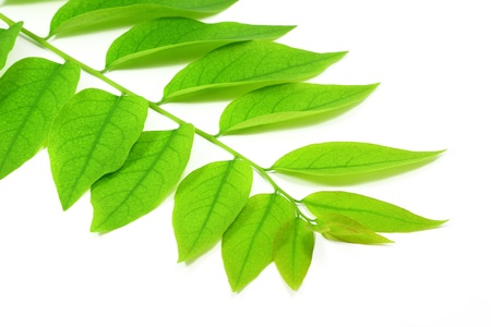 Green leaves with white background photo