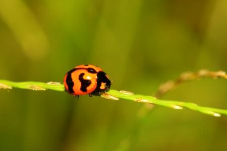 The ladybug on grass photo