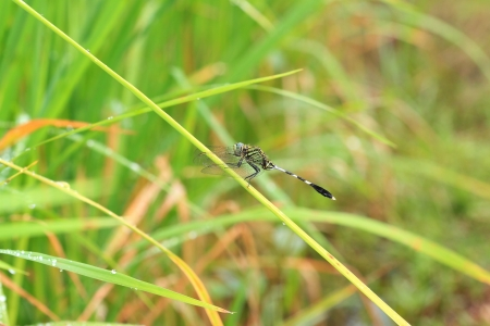 crocothemis: Dragonfly in nature