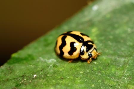 lady beetle: The ladybug on green leaf Stock Photo