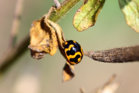 The ladybug on green leaf photo